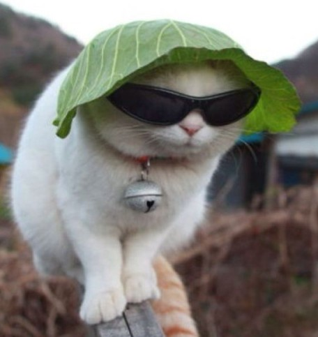 猫サングラスキャベツ中国