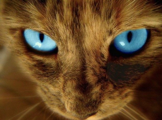 猫イケメンブルー目